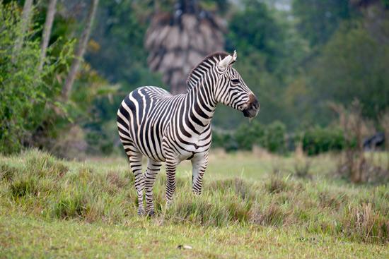 Disney's Animal Kingdom Add Savannah Space For The Return of Zebras to Kilimanjaro Safaris